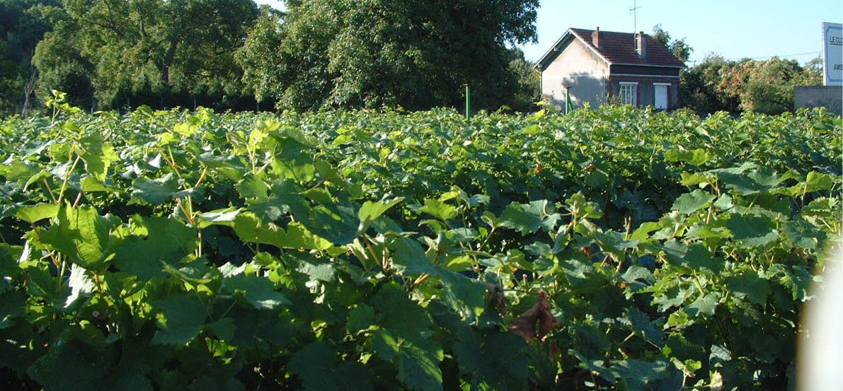les vignes de beaumont